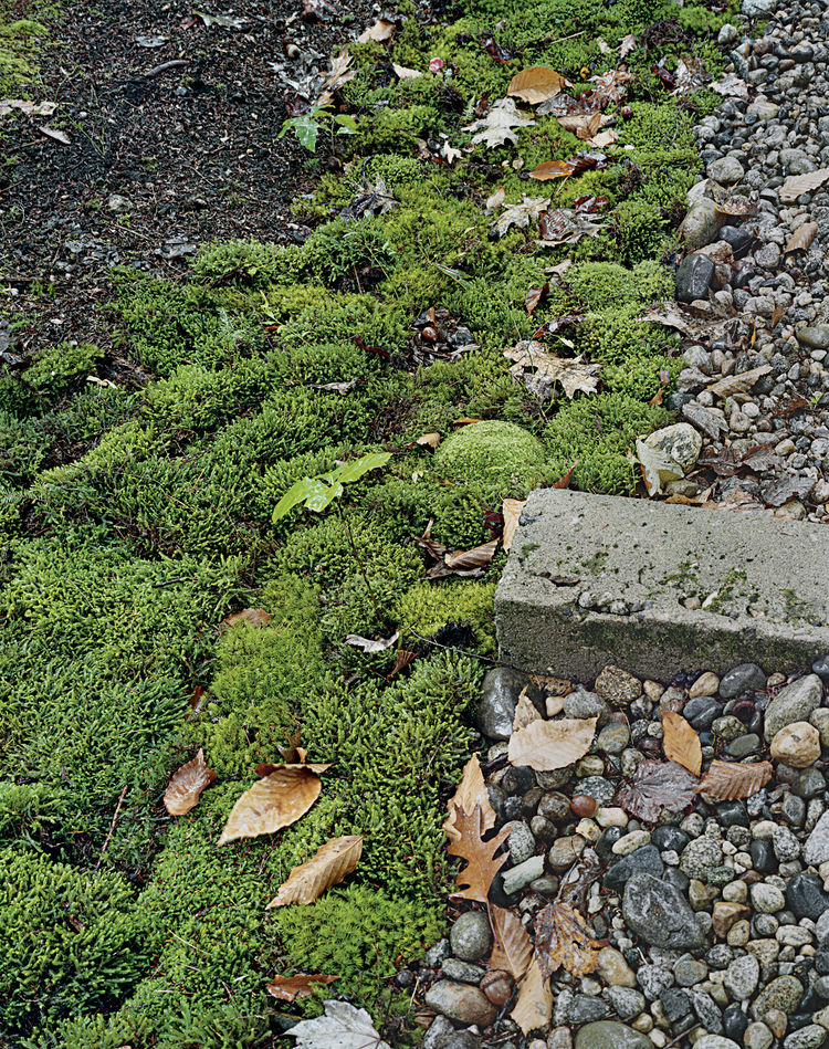 For colder climates that also experience periods of drought, moss is an attractive choice. It thrives in poor, acidic soil, and requires shade, making it perfect for rocky areas with tree cover.