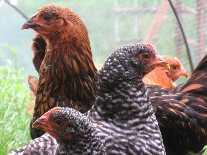 """""""Unfortunately he met his demise when he tried to assert his dominance over the neighbor's dogs.  Ironically, this tragedy occurred a week before he was to meet his new roommates: four spring hens we adopted from my son's kindergarten classroom."""""""