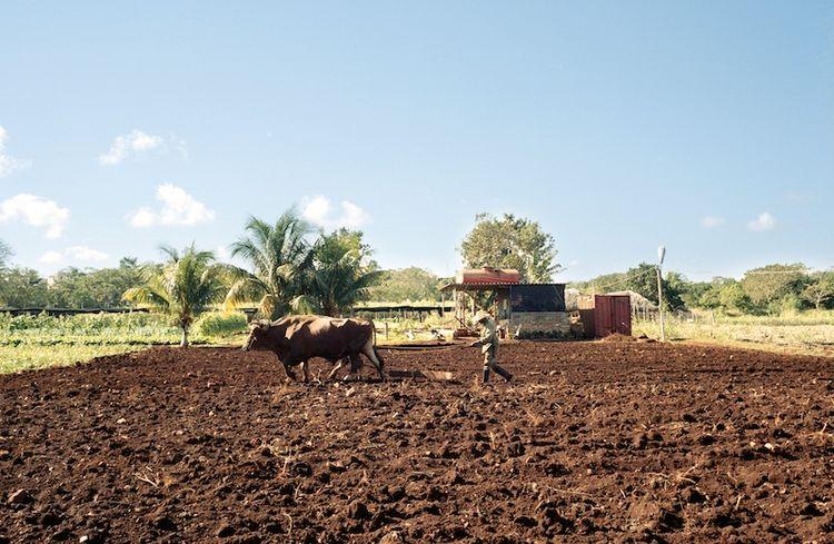 Farming Cuba: Oxen Working the Land