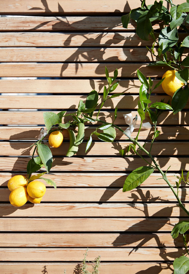 The lemon tree stretches across a fence of clear, or knot-free, red cedar