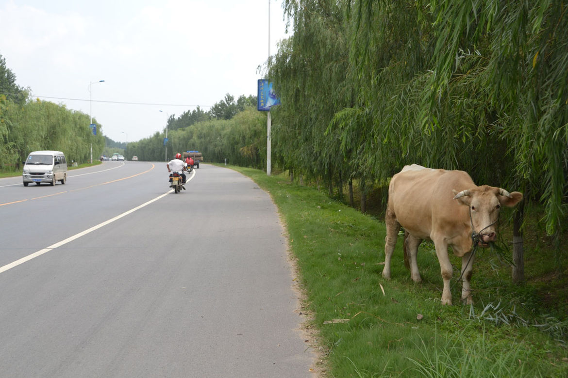 """Shahid spots about two cows per day. """"This was the first one I saw eating a willow,"""" she remarks."""